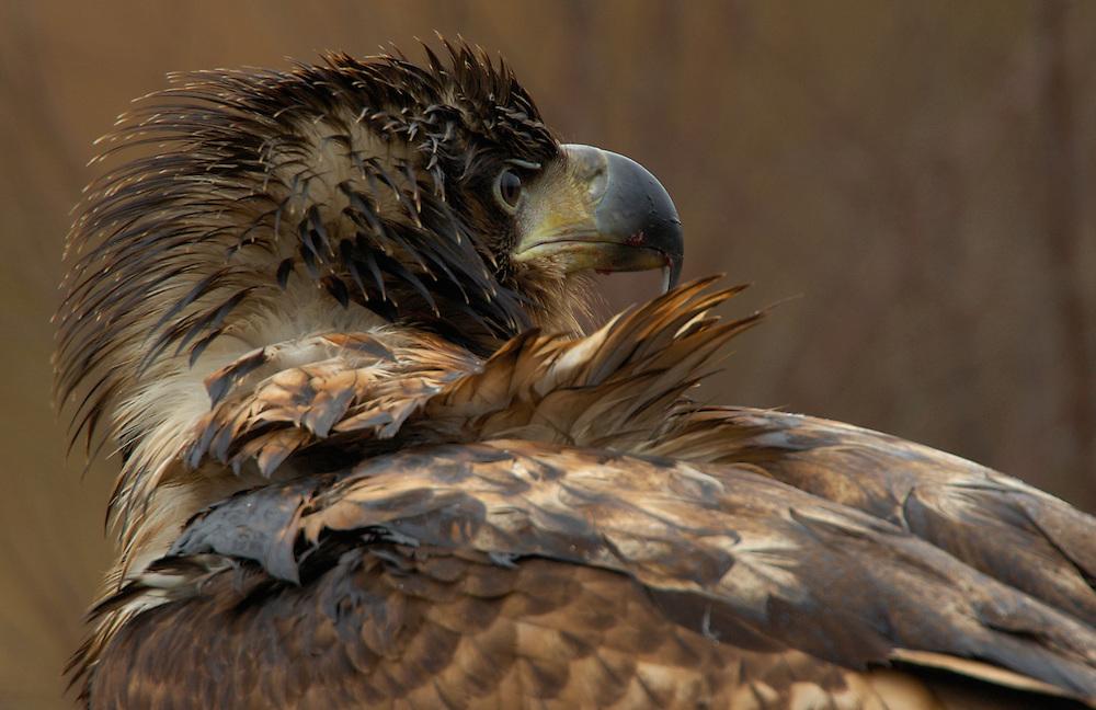 European white-tailed Sea Eagle, Haliaeetus albicilla, Flatanger, Norway