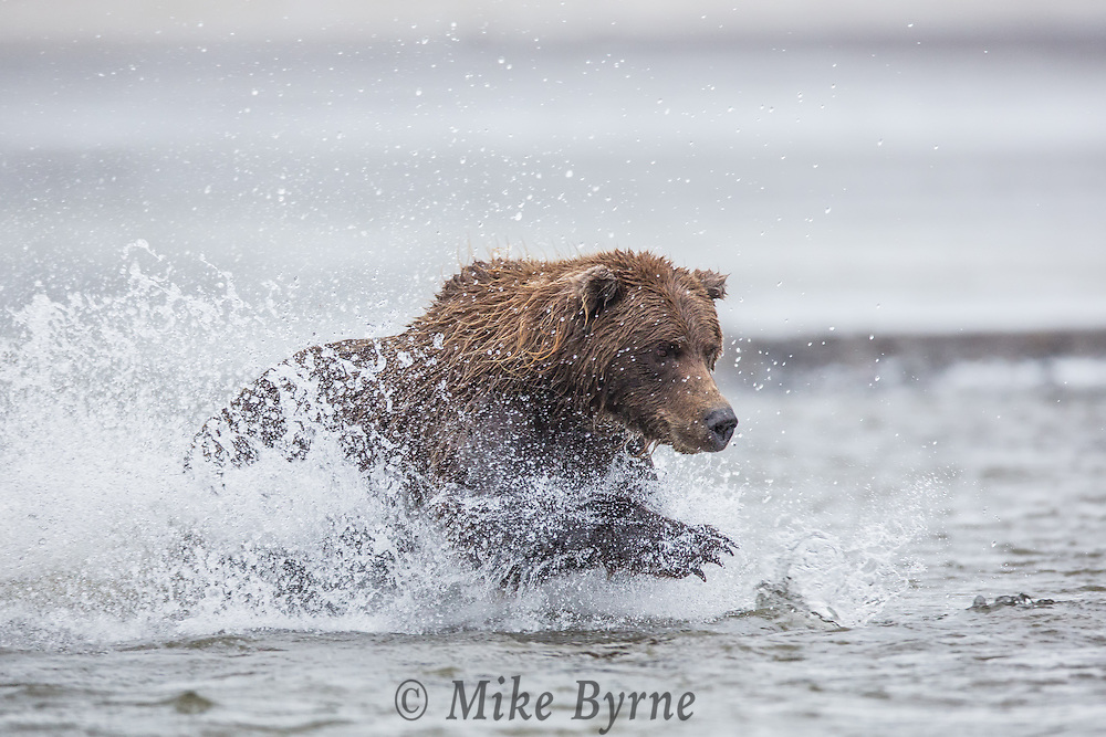 Brown bear (ursus arctos) in Lake Clark National Park, Alaska