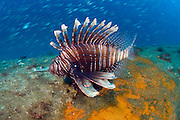 Non-native, invasive and venemous Volitans Lionfish (Pterois volitans) on the wreck of the U-352, a German submarine sunk by the US Coast Guard during World War II. Originally from the Indo-Pacific, the lionfish is fully established along the east coast of the US, from Florida to Long Island, NY.