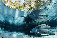 Florida manatee, Trichechus manatus latirostris, a subspecies of the West Indian manatee, endangered. Mother nurses her calf and is reflected on the calm surface near a freshwater spring. Horizontal orientation with blue water and submerged tree roots. Peaceful, undisturbed scene. Three Sisters Springs, Crystal River National Wildlife Refuge, Kings Bay, Crystal River, Citrus County, Florida USA.