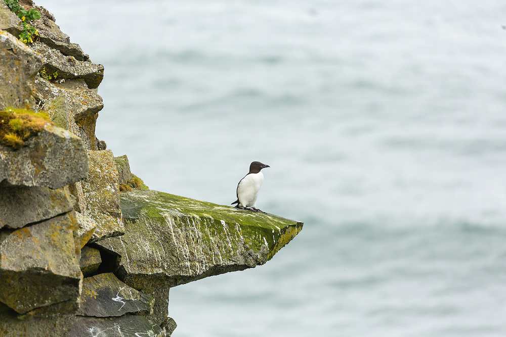 Thick-billed Murre perched on a ledge overlooking Bering Sea on coast of St. Paul Island in Southwest Alaska. Summer. Afternoon.
