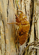 Cicada insect shell. Nydia Track, South Island, New Zealand