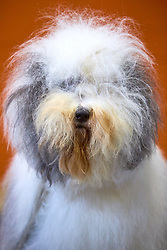 © Licensed to London News Pictures. 08/03/2018. Birmingham, UK.  Crufts dog show in the NEC. In this picture:  Shaggy Blue Bobs Undercover Girl, an Old English Sheepdog.  Photo credit: Cliff Hide/LNP