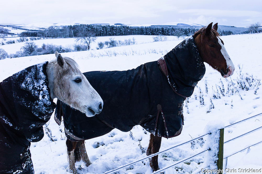 Oxnam, Jedburgh, Scottish Borders, UK. 14th January 2016. Horses in a snow covered field in the village of Oxnam in the Scottish Borders. © Chris Strickland / Alamy Live News