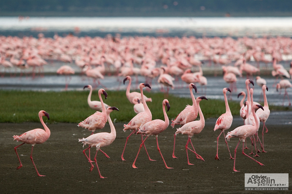 Pink flamingos on lake shore at Lake Nakuru National Park, Kenya