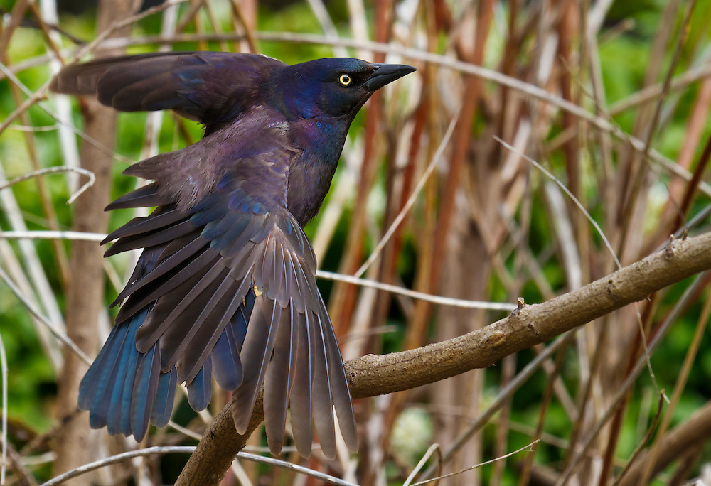 A grackle behind the Lily Pond area near a tiny stream.