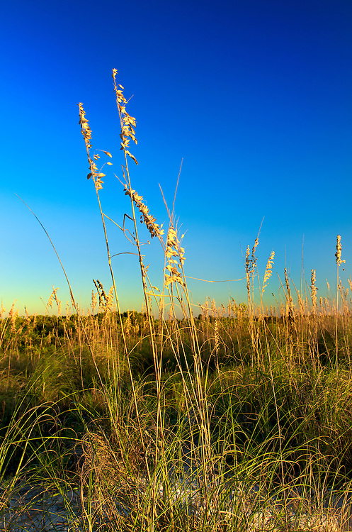 Sea Oats in Honeymoon Island, Florida