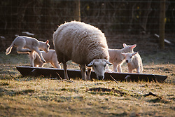 © Licensed to London News Pictures. 23/03/2020. Guyzance, UK. Lambs feeding at sunrise on a frosty morning on farmland near the hamlet of Guyzance in Northumberland, northern England. Photo credit: Ben Cawthra/LNP