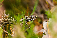 A common European adder moving through the terrain in a swedish forest.