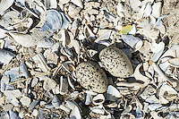 Two African Black Oystercatcher eggs within their well camoflaged nest on shell pieces, Malgas Island, West Coast National Park, Western Cape, South Africa