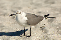 Laughing gull in its winter plumage looking for scraps from nearby tourists on Captiva Island, Florida. This is the most common gull in southwest Florida, and are seen all year long.