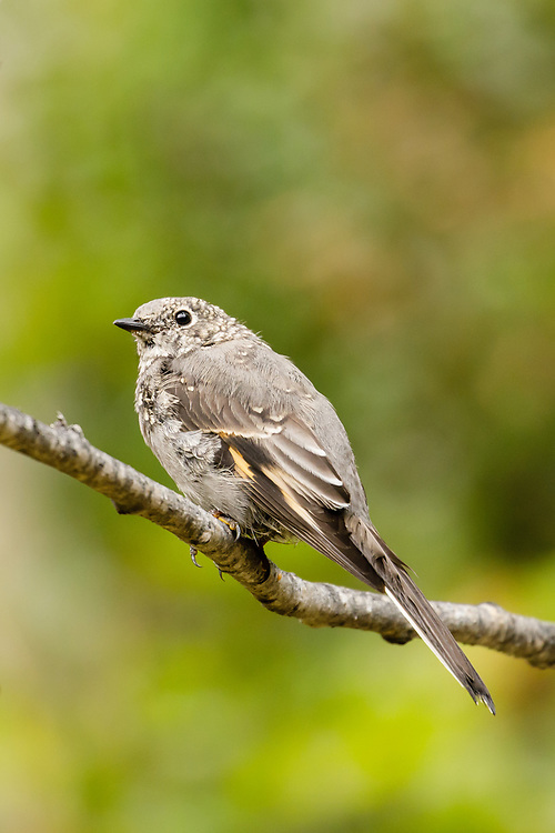 Juvenile Townsend's Solitaire (Myadestes townsendi) perched in Southcentral Alaska. Summer. Afternoon.