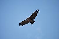 CONDOR (Vultur gryphus) EN VUELO, RESERVA NATURAL VILLAVICENCIO, LAS HERAS, PROVINCIA DE MENDOZA, ARGENTINA