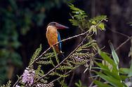 Kingfisher at Kumarakom bird sanctuary , Kerala