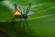 Spiny Orbweaver Spider (Gasteracantha sp.)<br /> Kanuku Protected Area<br /> Rupununi<br /> GUYANA<br /> South America