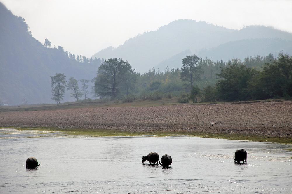 Asia, China, Guilin. Water buffalo along Li River.
