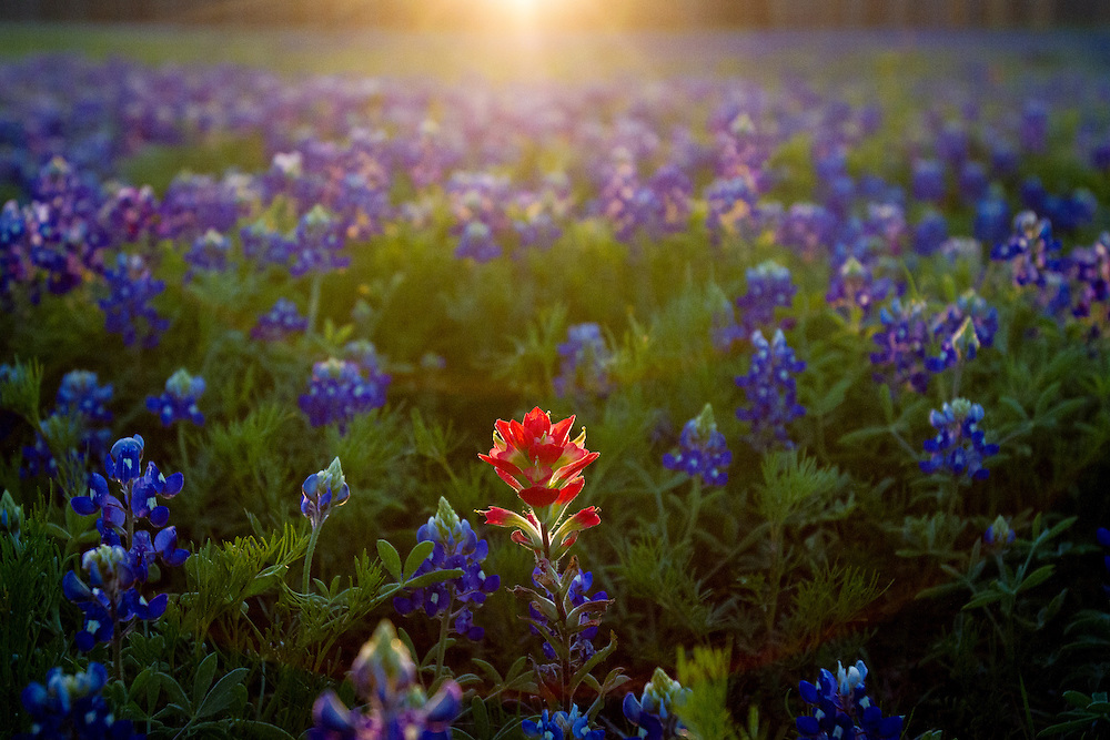 An Indian Paintbrush in a field of Bluebonnets.<br /> Round Rock, Texas