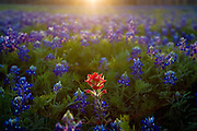 An Indian Paintbrush in a field of Bluebonnets.<br />