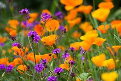 Hoverfly landing on Eschscholzia californica 'Orange King' - California poppy - with Verbena rigida