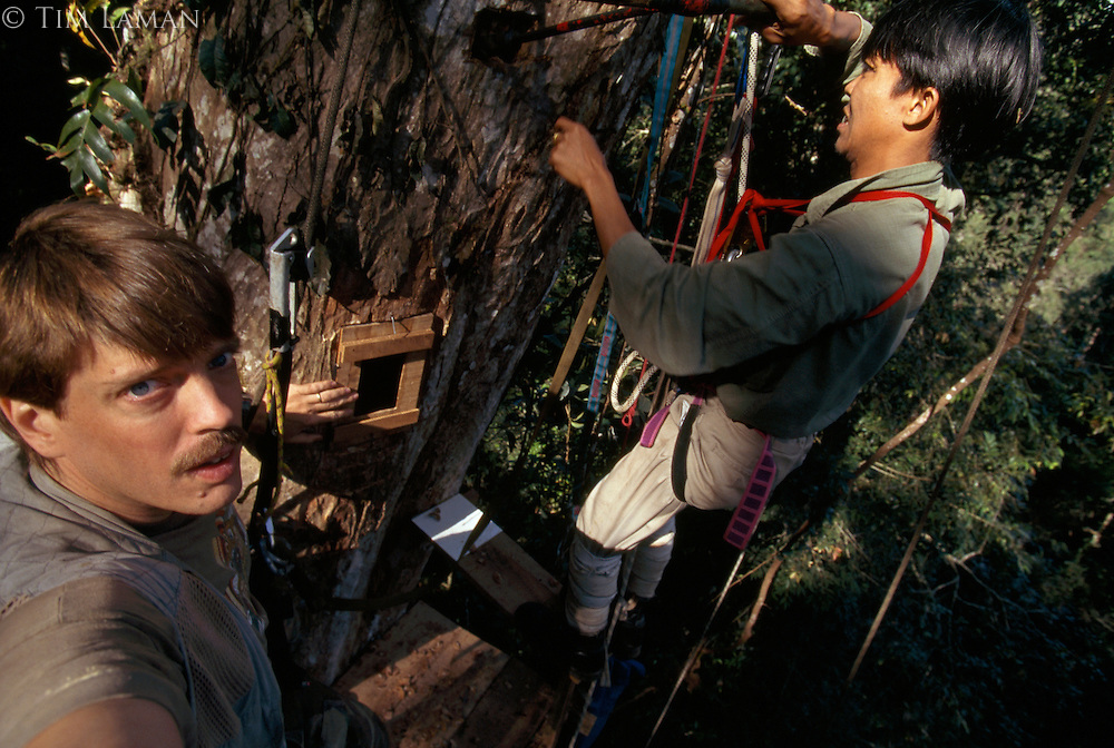 Installing a window into a Great Hornbill (Buceros bicornis) nest.