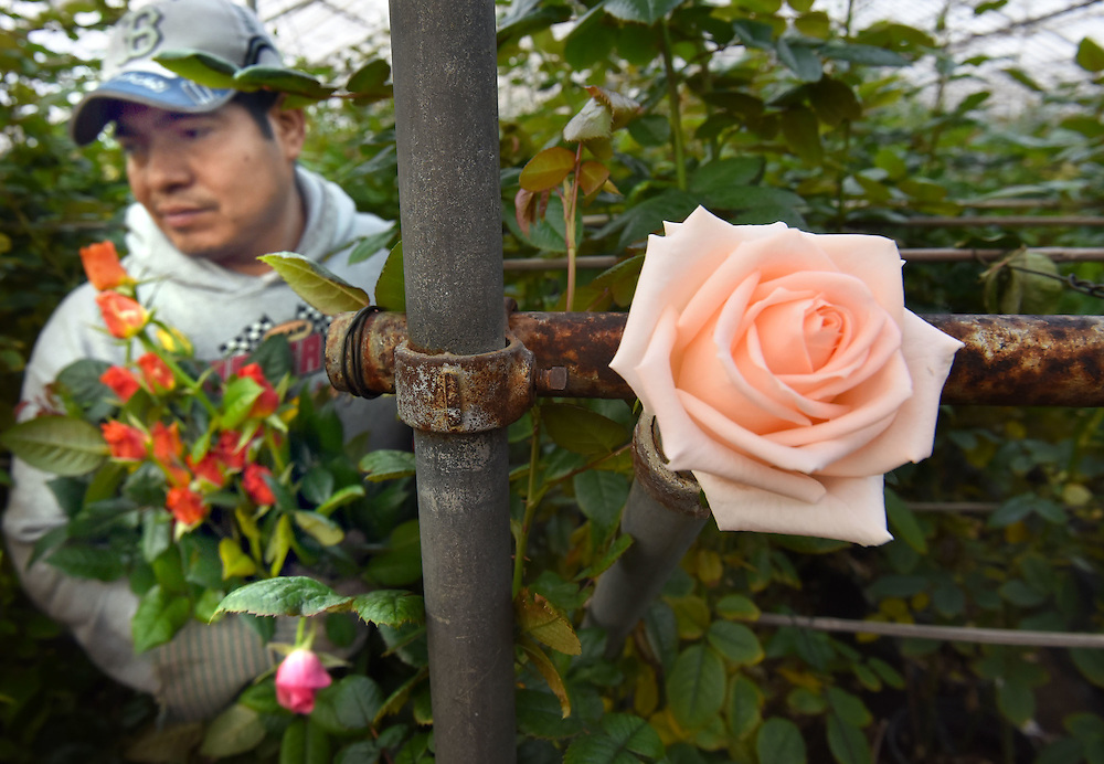 Photo by Mara Lavitt <br /> February 4, 2015 Guilford, CT<br /> Roses for Autism grows and sells flowers while providing job training for those on the autism spectrum. Staff member Hipolito Solis of Hamden walks amidst 26,000 rose plants and cuts roses for the days needs. The Osiana rose is at right.