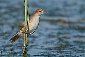 Reed Warblers & Allies