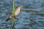 Reed Warblers & Allies