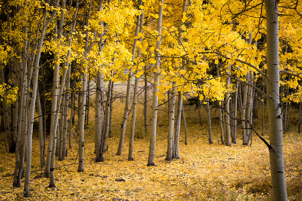 A small aspen grove just south of Beaver Lake in Silverjack, CO.