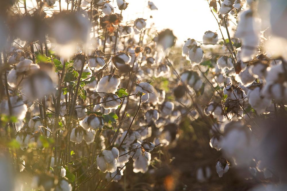 Centralina_MG, Brasil...Plantacao de algodao em Centralina...Cotton plantation in Centralina...Foto: LEO DRUMOND / NITRO
