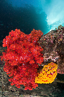 Soft Corals, Cup Corals<br /> <br /> shot in Indonesia