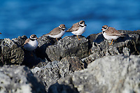 Mixed flock of Semipalmated Plover (Charadrius semipalmatus) peched on rocks, Crescent Beach, Nova Scotia, Canada
