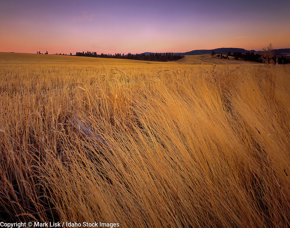Idaho. Long golden grass in the rolling hills of the Palouse.