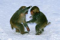 Snow Monkey or Japanese Macaque (Macaca fuscata)