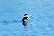 Common loon (Gavia immer) on Klotz Lake<br />Longlac<br />Ontario<br />Canada