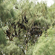 A colony of fruit bats.