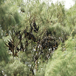A colony of fruit bats.