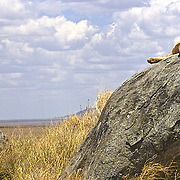 "A lioness rests atop a ""kopje"" (small, isolated granitic mound) in the short-grass plains of the Serengeti, Tanzania."