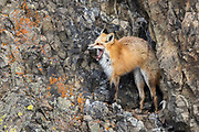 Red fox during winter in Yellowstone National Park Red fox during winter in Wyoming