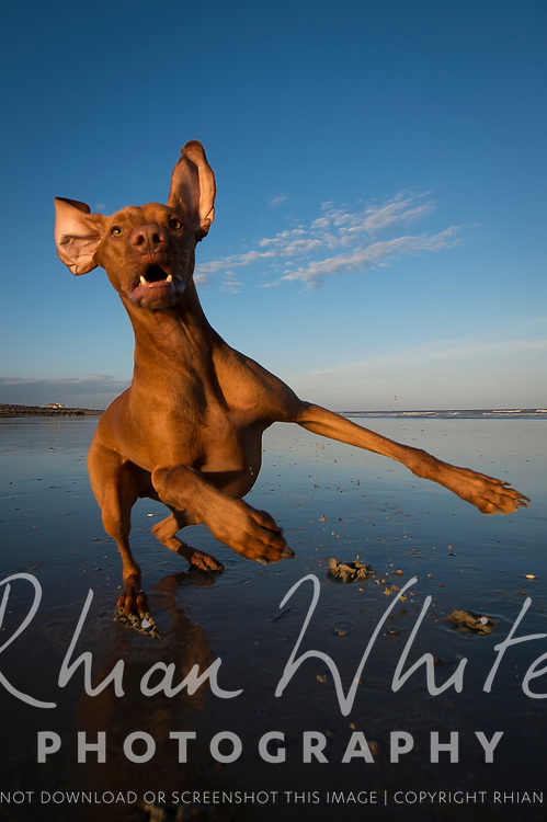 Images of Bentley, the Hungarian Vizsla