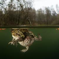 Mating common toad (Bufo bufo), amplexus. Vanlig padda.<br /> Location: Billebjär, Skåne, Sweden