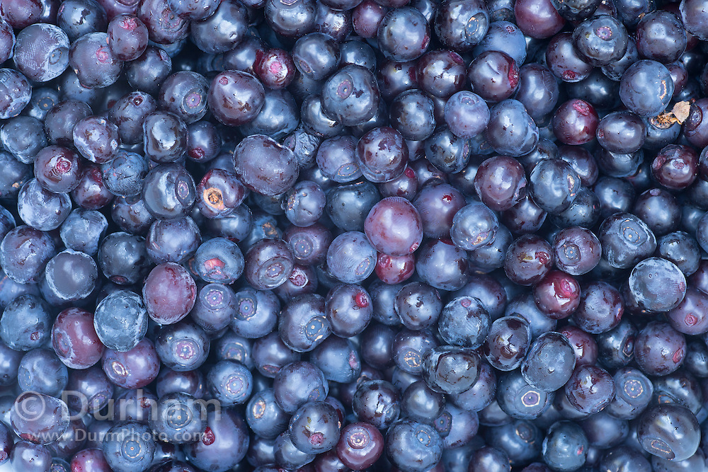 Wild huckleberries after harvest on the slopes of Mount Adams in the Gifford-Pinchot National Forest, Washington.