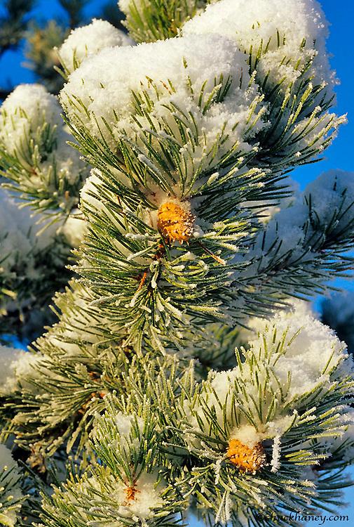 Fresh snow on Pine Needles at Marias Pass in Montan