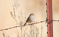 Early on an October morning a Immature White Crowned Sparrow sits on a fence wire resting in the warm sun.