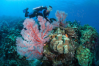 Diver and Vibrantly Colored Sea Fans<br /> <br /> Shot in Indonesia