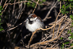 House Sparrow (Passer domesticus), Palo Alto Baylands, Palo Alto, California, United States of America
