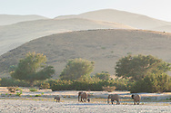 Africa, Namibia, Kaokoveld, Purros, Namib, Desert Elephant