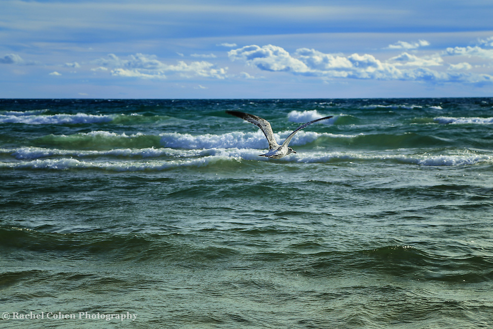 &quot;Watcher on the Wind&quot;<br /> <br />  A Beautiful gull soaring above the strong waves of Lake Michigan!!<br /> <br /> The Great Lakes by Rachel Cohen