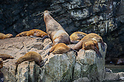 Steller Sea Lion cow and pups resting on rocks