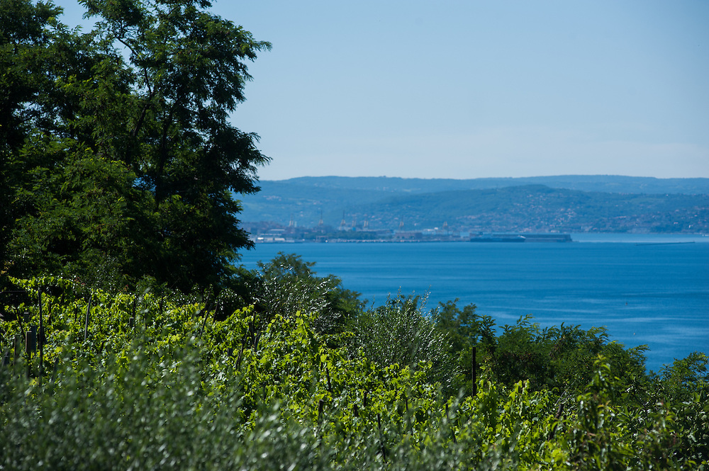 Vineyards and vegetation facing the sea near Trieste, Italy