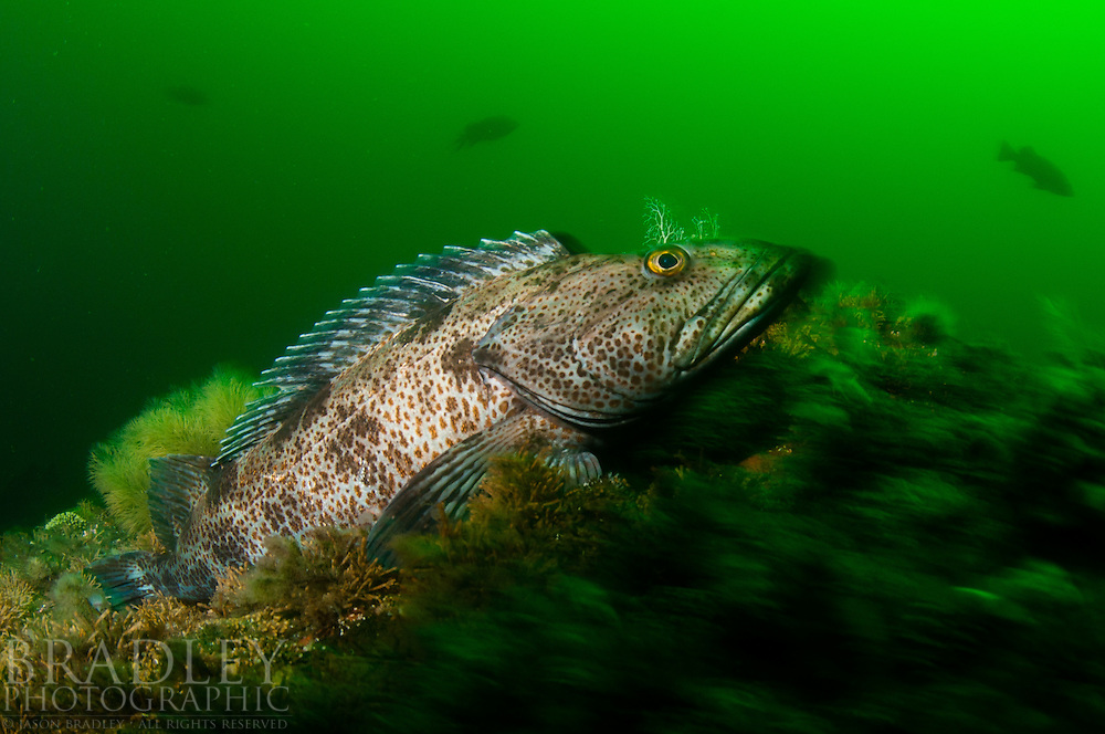 A large ling cod shot at Breakfast Rock near Wooden Island in Southeast Alaska